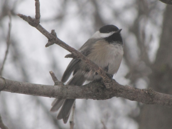"""Click on """" 07 Black-capped chickadee"""" below  to hear song from John Feith's """"Bird Song Ear Training Guide"""""""