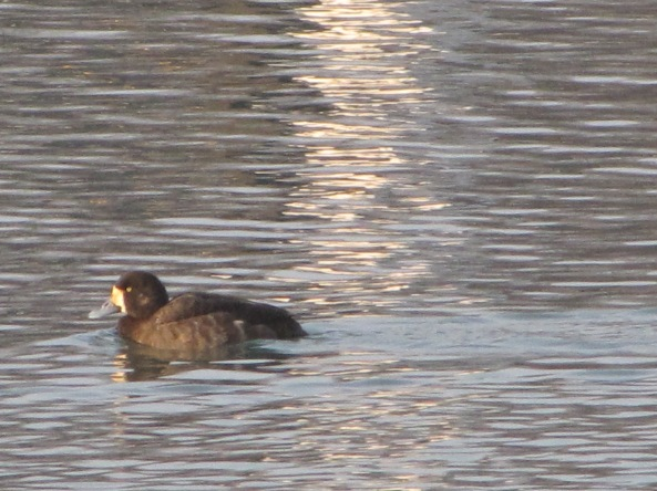 female scaup