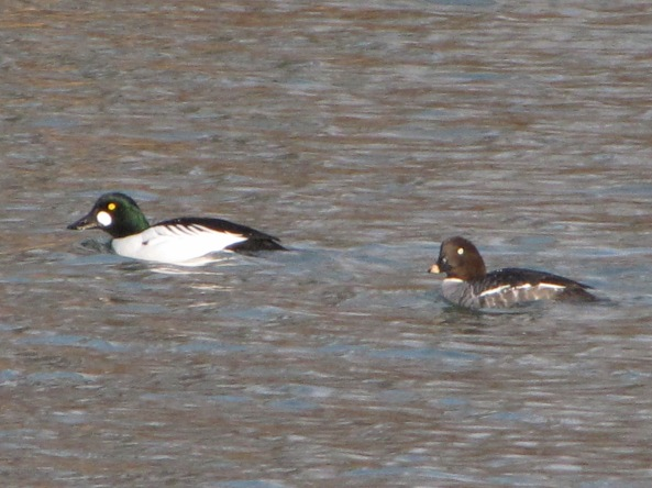 male and female common goldeneye