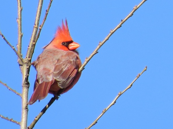 not a duck (but a beautiful winter bird we're likely to see on Nature Walk December 1st!)
