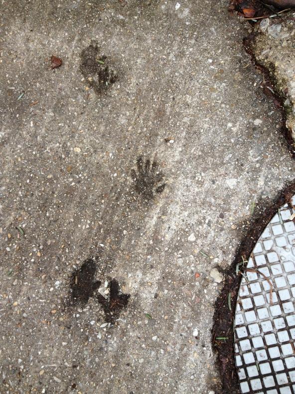 opossum in sidewalk cement