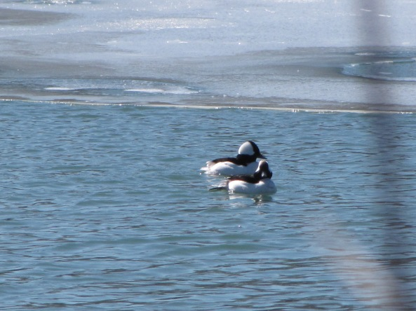 male buffleheads