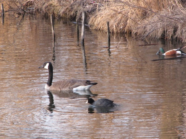 Canada goose (25-45 inches), american coot (15.5 inches) and northern shoveler (19 inches)