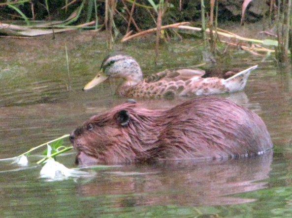 female mallard (23 inches) and beaver (32-47 inches with tail)