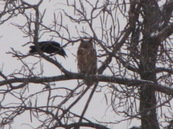 american crow (17.5 inches and great horned owl (22 inches)