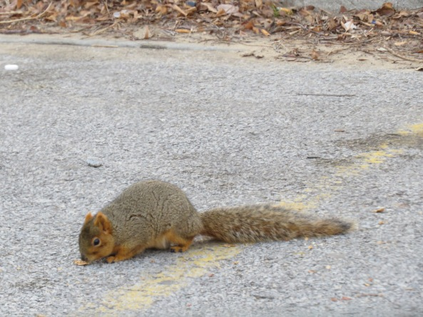 fox squirrel at 63rd St Beach parking lot