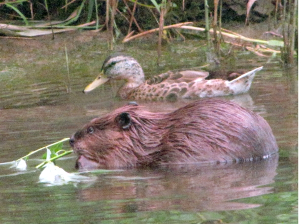 beaver-with-duck