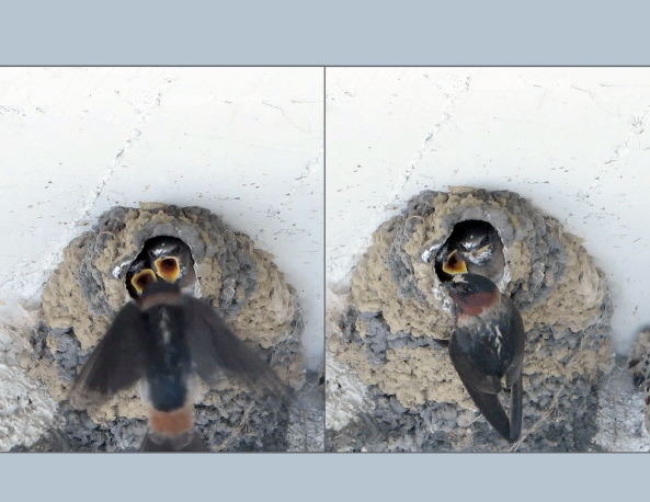 cliff swallow comp